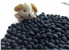 Organic Black Soybean( yellow and green inside, New crop, Heilongjiang origin)