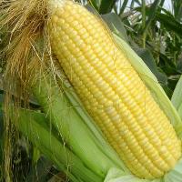 SY-Y301 hybrid sweet corn seed, hybrid corn seed, sweet corn seeds