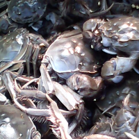 swimming crab seafood