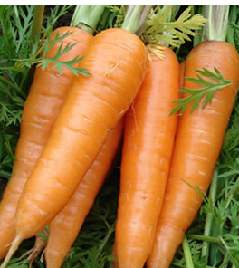Wan Qian Hong carrot seed, vegetable seed, carrot seed