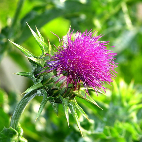 Top Quality Milk Thistle Extract With Best Price