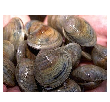 Live Clams