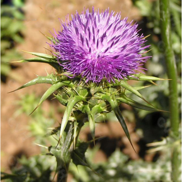 Natural Milk Thistle Extract Silymarin