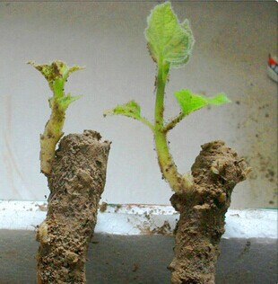Multi-purpose paulownia tree seedling for forestr