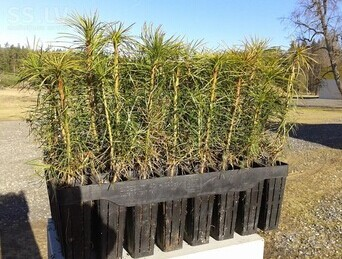 Pine tree seedlings for forest planting
