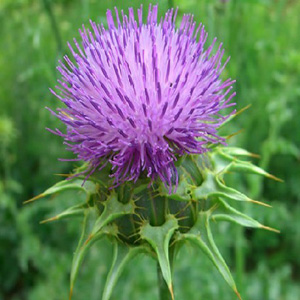 Milk Thistle Silymarin