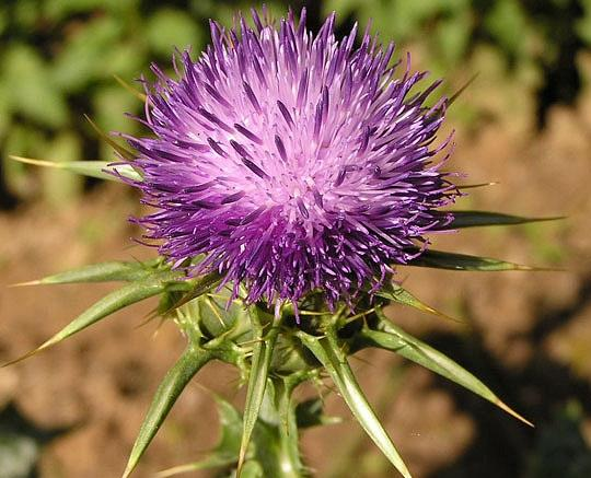 Milk Thistle Extract Silymarin 80 percent