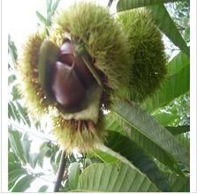 Fresh chinese castanea mollissima/chestnut/chinese chestnut