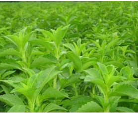 Stevia Extract Steviosides 80%, 90%,95%,98%