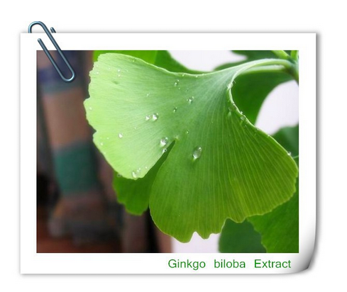 herbal extract Ginkgo biloba Extract,Pure Natural 24% Glycosides 6% Terpenelactones Ginkgo Biloba Extract