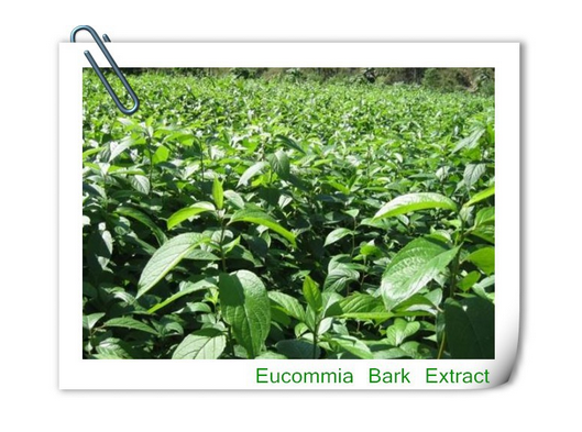 Herbal Extract Eucommia Ulmoides Extract/eucommia Bark Extract chlorogenic Acid Powder and pill