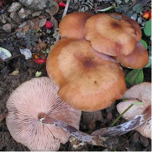 Natural Armillarella Mrllea 30%