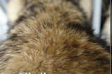 hot sale raccoon dog fur 2014 popular