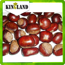fresh chestnuts in shell