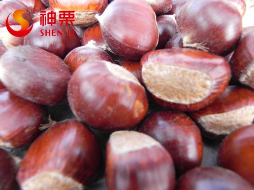 New Crop Fresh Chestnut