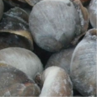 fresh frozen moon snail meat