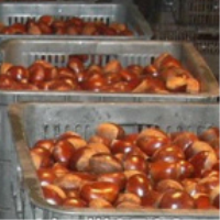 buy fresh chestnuts with jute packing buyer directly