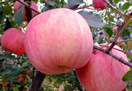 Chinese bulk fresh apple