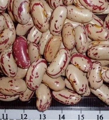 Long Speckled Kidney Bean
