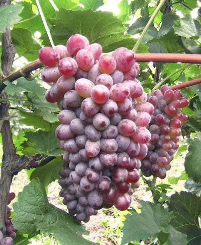 Quality Grape
