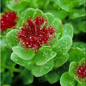 high quality in bulk stock Rhodiola root Extract