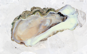 Triploid Oyster