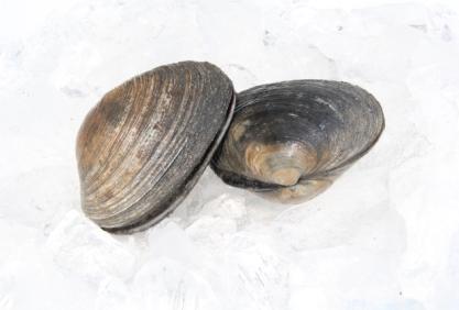 Washington Clam (Large Clam)