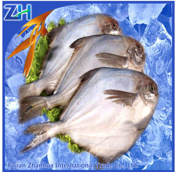 white pomfret fish chinese white pomfret