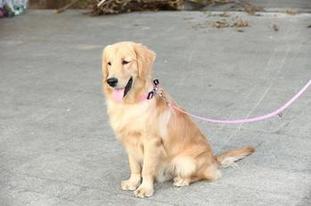 Pure Color Soft Nylon Wholesale Dog Collar and Leash