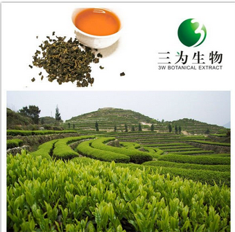 Hot Tea Extract Oolong Tea Extract from Manufacturer 3W Botanical