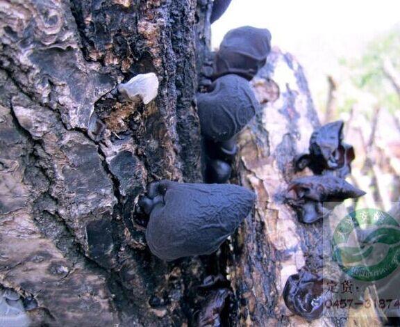 suopply natural organic dried agaric / black fungus,