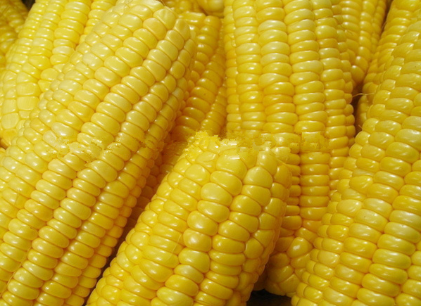 Frozen Corn On The Cob For Export From Heilongjiang