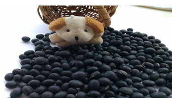 Organic Black Soybean( yellow and green inside, New crop, Heilongjiang origin)