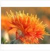 Organic Safflower Seed Oil