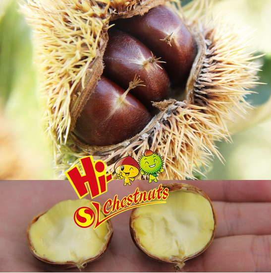 New Crop Fresh Chestnut, Bulk Hebei Chestnuts for sale