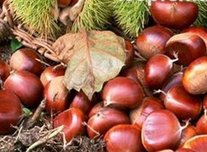 Organic qianxi fresh chestnut for healthy snacks and gift