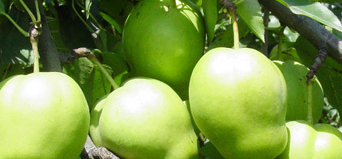 2016 sweet Pear supplier from China
