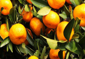 Mandarin Orange list of yellow fruits for sale
