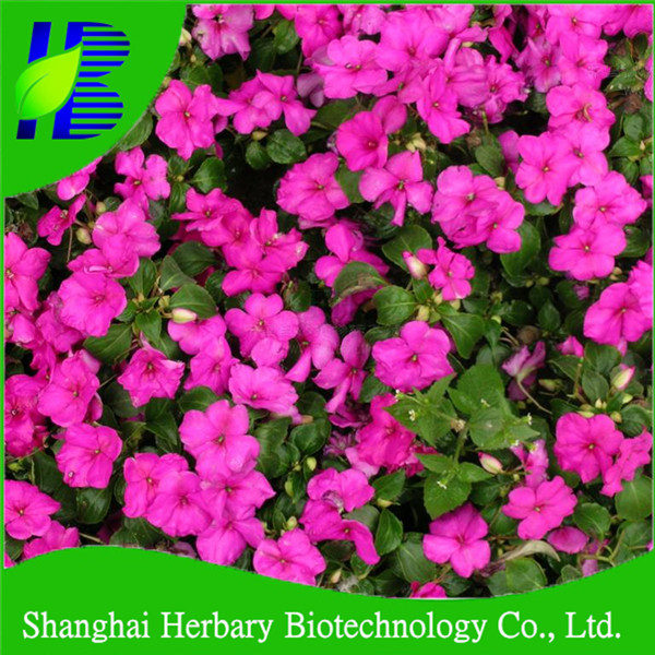 Red impatiens balsamina flower seeds for planting for sale