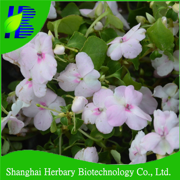 2018 New arrival garden seeds White rose balsam seeds for planting for sale