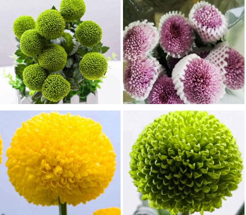 colorful Fresh Cut Chrysanthemum with wholesale price on sale Fresh Cut Flowers