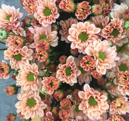 colorful Fresh Cut Chrysanthemum from Farm with wholesale price on sale now Fresh Cut Flowers