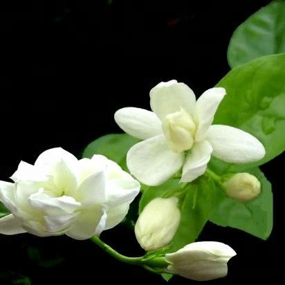 Fresh cut flower for wedding jasmin flower for sale