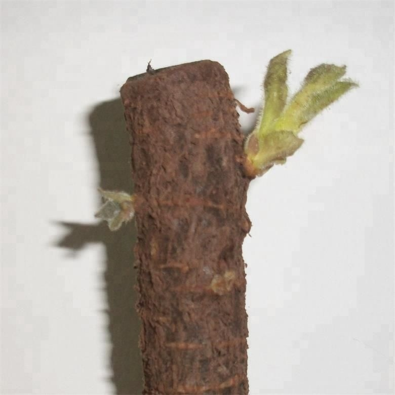 fast grow Pao tong tree royal paulownia 9503 cut roots for wood sale
